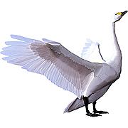 <東急百貨店>【野鳥シリーズ】1.白鳥画像